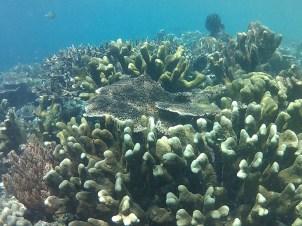 Coral de colores de Mansuar island.